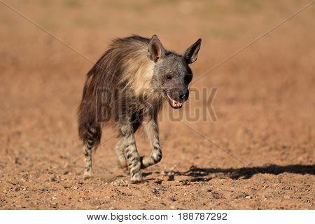 A brown hyena (Hyaena brunnea) walking, Kalahari desert, South Africa