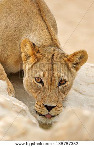 Portrait of an African lioness (Panthera leo), drinking water, Kalahari desert, South Africa