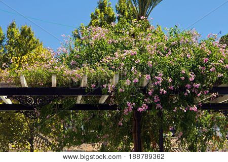 Beautiful flowers on a wooden pergola in Mijas village, Andalusia, Spain.