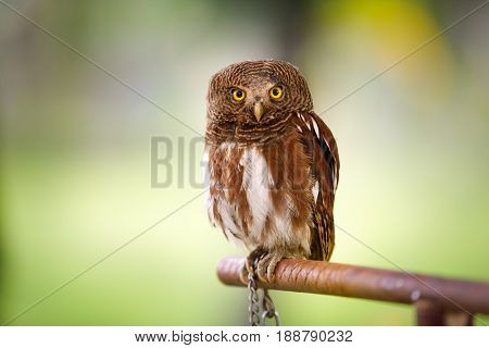 screech owl looking at camera over green background
