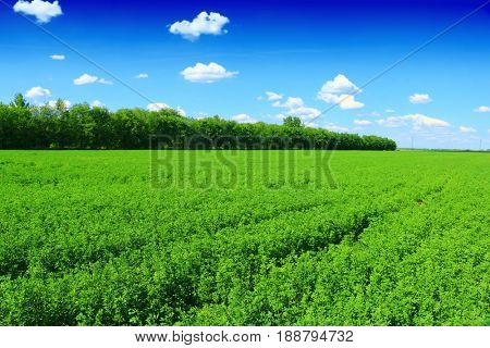 clover fields and beautiful blue sky