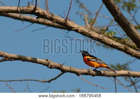 South Ontario bird Baltimore Oriole, perched on a branch