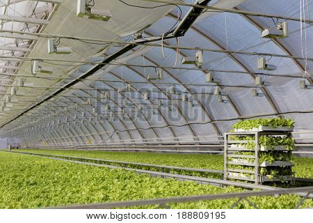 ST. PETERSBURG, RUSSIA - MARCH 31, 2017: Growing lettuce in the greenhouse of agricultural company Vyborzhets. The company supplies fresh vegetables to the city all year round