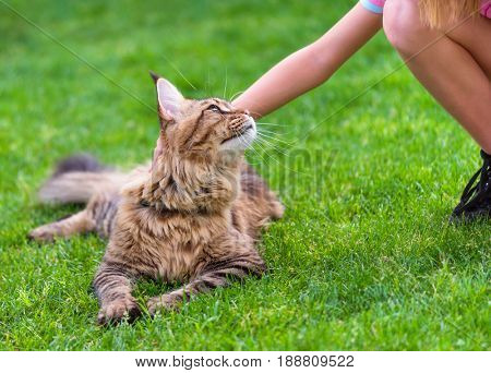 Child female hand caressing young cat. Black tabby Maine Coon big kitten enjoying a pat, relaxing on green grass in garden. Walking outdoor adventure.