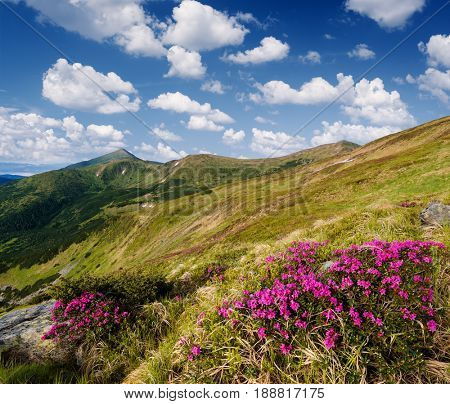 Sunny day. Summer landscape with flowers. Blooming rhododendron. Carpathians, Ukraine, Europe