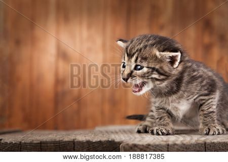 Mewing kitten on background of old wooden boards. poster