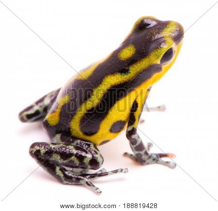 poisn arrow frog. Tropical poisonous rain forest animal, Oophaga pumilio isolated on a white background.