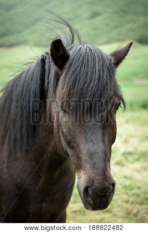 Brown horse in Iceland. Portrait of an animal in a field
