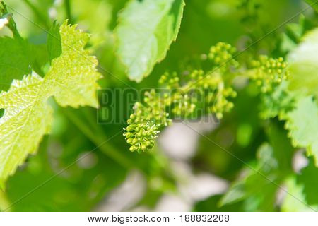 Young grapes in vine yard in spring