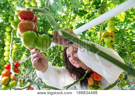 Young female greenhouse assistant reaching to pick ripe tomatoes with pruning shears in greenhouse