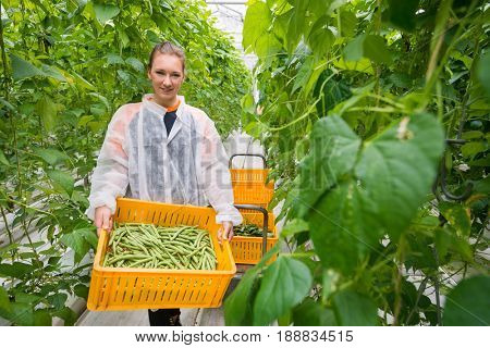 Worker Carrying Crate With Harvested Green Beans In Greenhouse
