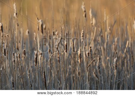 Bulrush plant on an autumnl lakeside