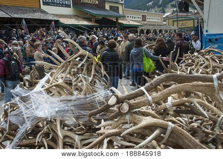 Jackson Hole, Wyoming - May 20, 2017 Elk Fest Annual fundraiser Elk Refuge and Boy Scouts community event town square animal elk antler auction