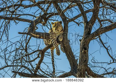 Travel to Namibia. The concept of exotic and extreme tourism. Happy and well fed leopard resting on a tree. African spotted leopard after feeding