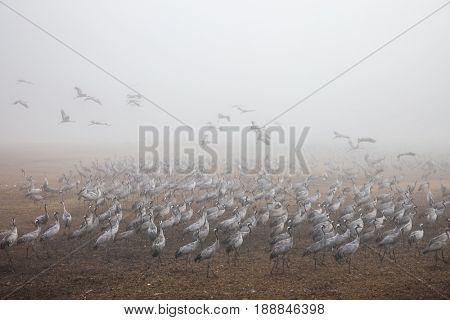 Foggy winter dawn. Huge flock of cranes. Various types of water birds wintering at Lake Hula