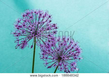 alium flowers looks like dandelion flowers with water drops over cyan background. abstract nature background