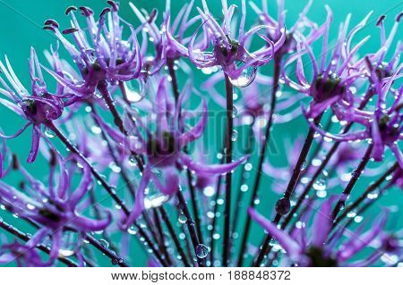 alium flower with dandelion flower structure wit water drops. macro. soft focus. shallow depth of field
