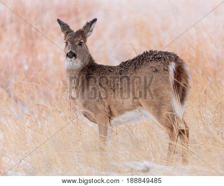 Mule deer doe wakes up to a field of snow.