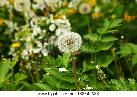 Russia, Siberia. The White Flower Of Dandelion In A Garden With Yellow And White Flowers.