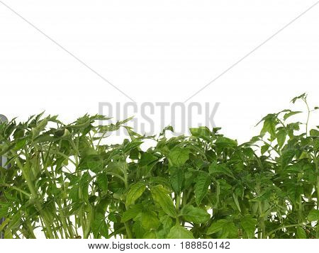 Green shoots of seedling tomato isolated on white background.