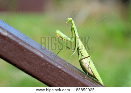 Big green mantis sitting on the inclined brown metal rail