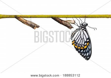 Common Mime (papilio Clytia) Butterfly And Pupa