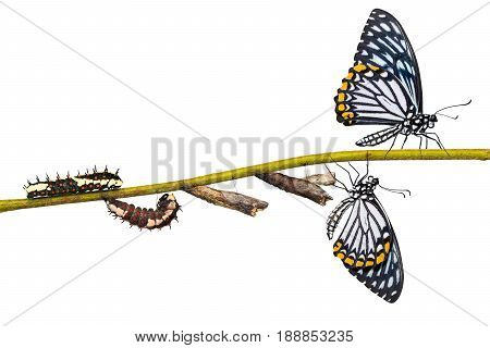 Common Mime (papilio Clytia) Butterfly Life Cycle