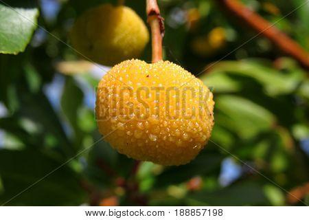 Canary Island Madrone Madronas yellow fruit berry growing on tree Arbutus canariensis