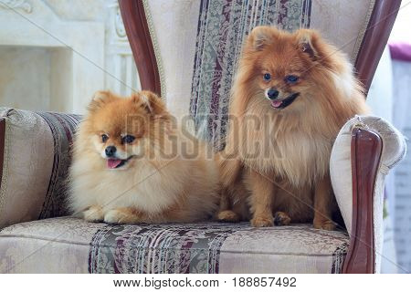 Two beautiful pomeranian puppys sits in the chair. Pet animal.