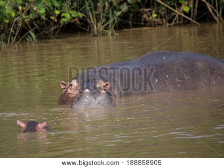 Hippopotamus Mother With Her Baby In The Water At The  Isimangaliso Wetland Park, South Africa