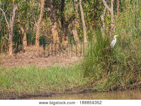 Great Egret In The Grass At  The  Isimangaliso Wetland Park, South Africa