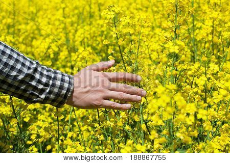 Male Peasant In Field Of Yellow Blooming Canola, And Stroked The Flowers Closeup. Agriculture The Cu