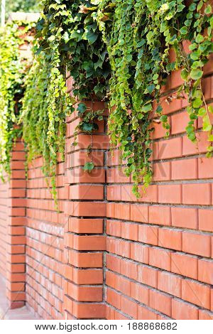Ivy On A Brick Wall. Ivy Twists A Brick Wall.