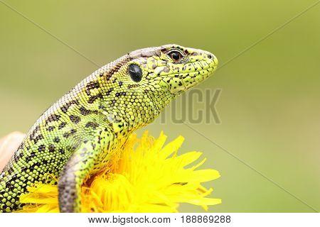 beautiful male sand lizard closeup ( Lacerta agilis ) standing on yellow dandelion