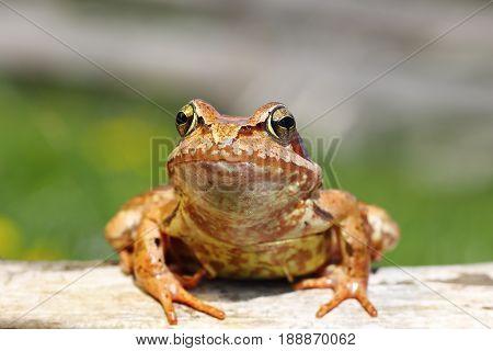 close up of european common frog ( Rana temporaria )