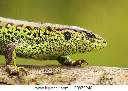 close up of male sand lizard ( Lacerta agilis )