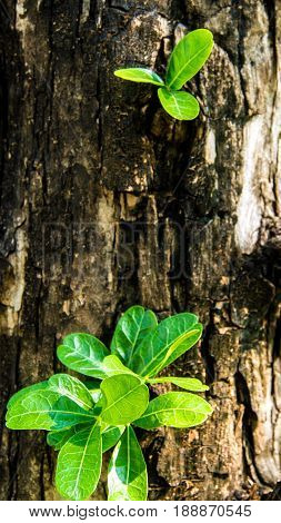 Leaf on the trunk of Calabash tree