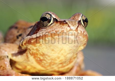macro portrait of european common frog ( Rana temporaria ) poster