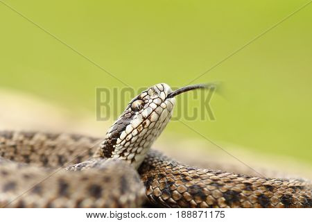 hungarian meadow adder macro image ( Vipera ursinii rakosiensis ready to strike )