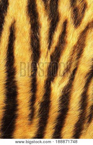 detailed tiger stripes fur real animal pelt