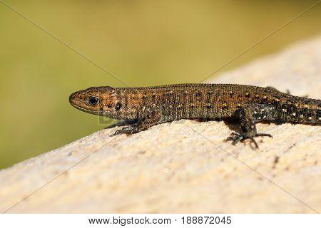 viviparous lizard basking on wood stump ( Zootoca vivipara )
