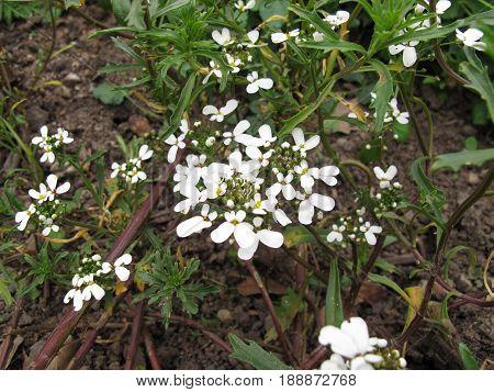 Bitter candytuft with flowers in herb garden, Iberis Amara
