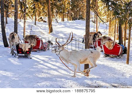 White Reindeer Jumping In Winter Farm At Lapland Finland