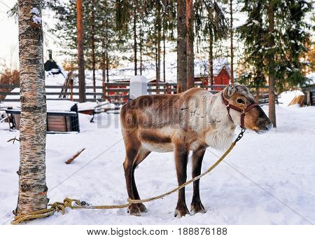 Reindeer Without Horns In Farm At Winter Lapland Finland