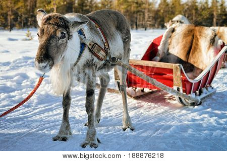 Reindeer Without Horns At Winter Farm In Finnish Lapland