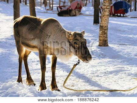 Reindeer Without Horns At Farm In Winter Lapland Finland