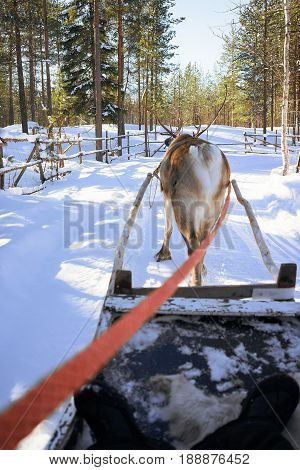 Reindeer Sled Race At Lapland Finland