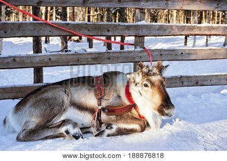 Reindeer In Winter Farm Lapland