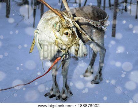 Reindeer In Farm In Lapland Finland Evening Snowfall