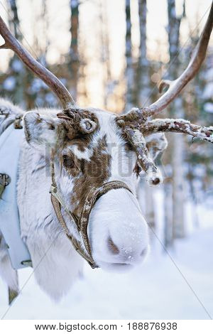 Reindeer At Winter Forest In Lapland Finland